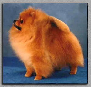 AKC Pomeranian BIS Champion. Bi-Mar Sundance Kid